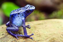 Blue Poison Dart Frog, Dendrobates Azureus