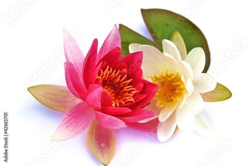 Fotobehang Lotusbloem Blütenpracht - Seerosen mit grünem Blatt