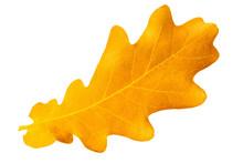 Yellow Autumn Leaf Oak Isolate...