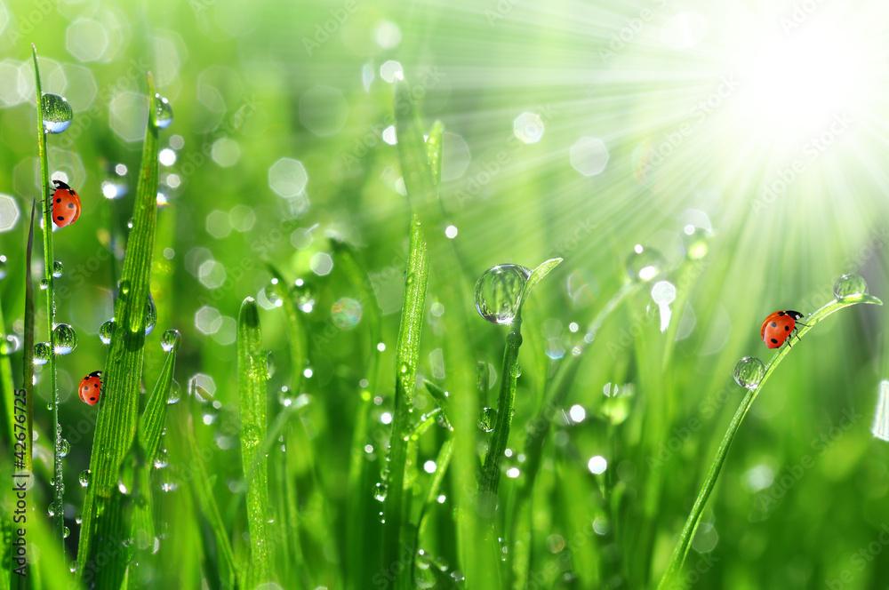Fototapety, obrazy: fresh morning dew and ladybird