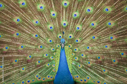 Portrait and close up of peacock