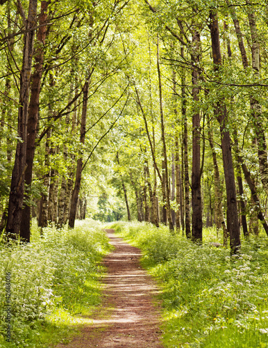 Path in a sunny summer forest - 42683086