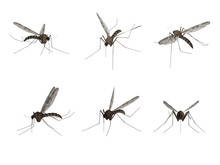 Mosquito, Isolated On White Ba...