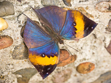 Indian Leafwing Butterfly