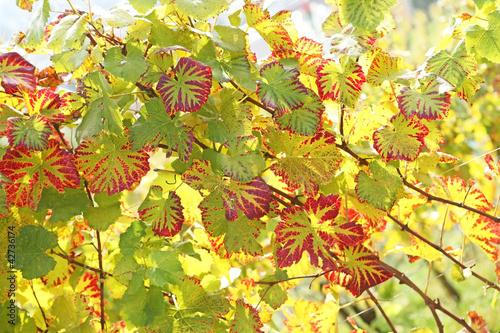Kolekcje specjalne naklejek winorosl-winogron-w-kolorze-jesieni