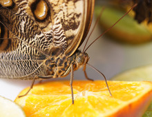 Brown Butterfly Eating An Oran...