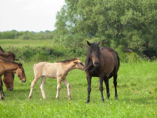 Dark horse with young colt on green meadow