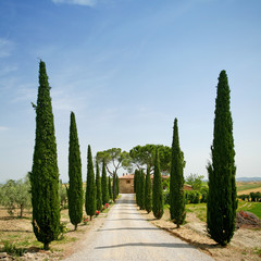 Obraz na Szkle Cypress alley in Tuscany