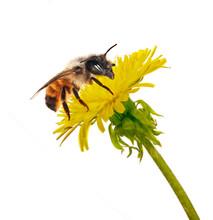 Bee On Isolated Yellow Dandelion
