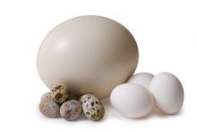 Egg Of The Ostrich, Hens, Fema...