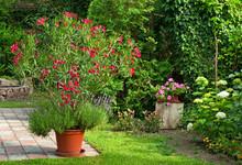 Nice Oleander In The Garden