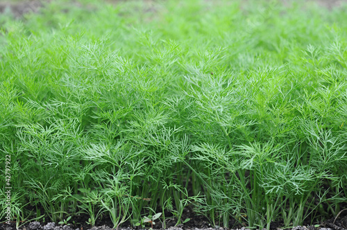 Organically grown dill in the soil. Organic farming in rural are Fototapet