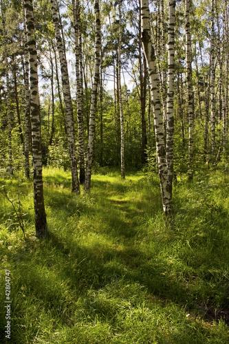 Foto op Aluminium Berkbosje Summer day in the wood