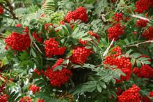 Rowanberrys In Tree