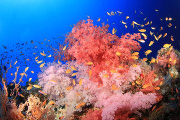 Beautiful Soft Corals on a Red Sea reef
