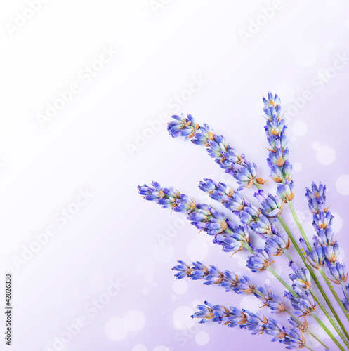 fresh-lavender-flowers-border
