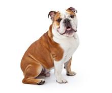 English Bulldog Sitting