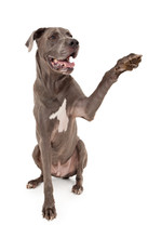 Great Dane Dog Extending Paw