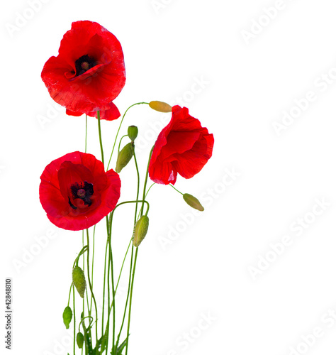 Red Poppy Flower Isolated on a White Background - 42848810