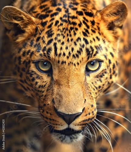 Leopard portrait - 42852431