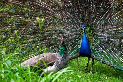 Fotografie, Obraz  Peacock pair (Pavo cristatus)