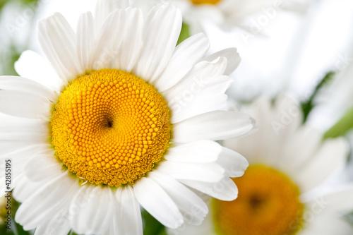 Daisy Flower Fototapeta