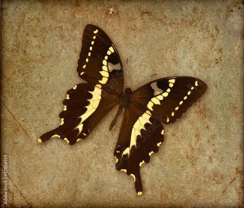 Foto auf Leinwand Schmetterlinge im Grunge butterfly over old vintage wallpaper