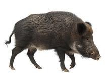 Wild Boar, Also Wild Pig, Sus ...
