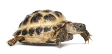 Young Russian Tortoise, Horsfield's Tortoise