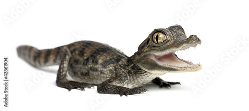 Poster Crocodile Spectacled Caiman, Caiman crocodilus