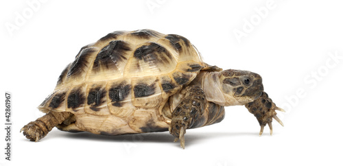 Poster Tortue Young Russian tortoise, Horsfield's tortoise