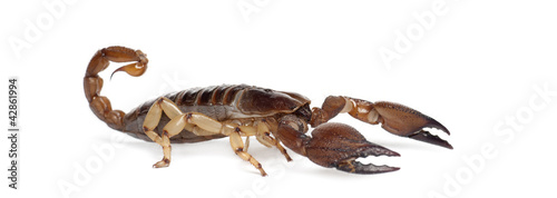 Shiny Burrowing Scorpion or Yellow legged Creeping Scorpion