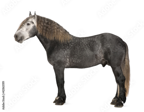 Photo  Percheron, 5 years old, a breed of draft horse