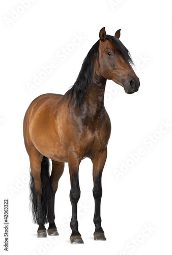 Staande foto Paardrijden Mixed breed of Spanish and Arabian horse, 8 years old