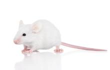 Decorative Mouse On White Background
