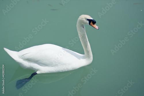 Spoed Fotobehang Zwaan лебедь плывёт