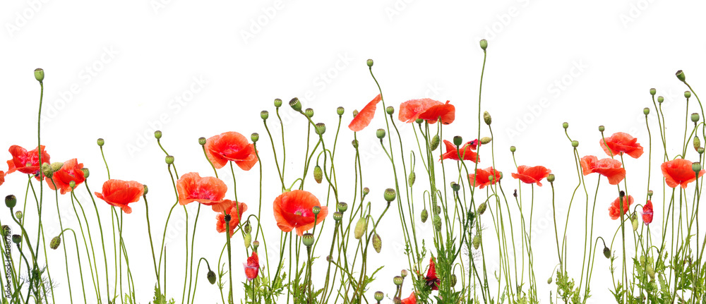 Fototapety, obrazy: beautiful red poppies