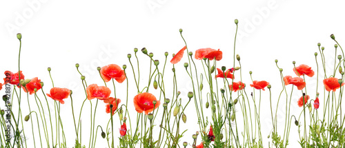 Poppy beautiful red poppies