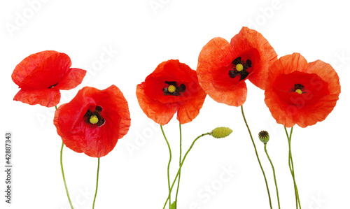 Fotobehang Poppy red poppies