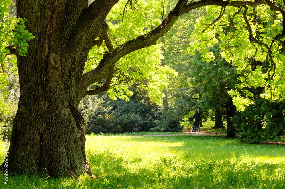 Fotografie, Obraz Mighty oak tree