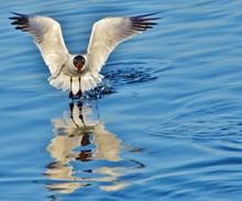 Water Landing Of Laughing Gull