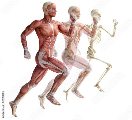 anatomia-miesnie