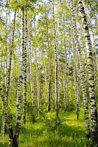 Deurstickers Berkbosje Birch wood