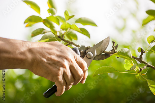 Fotomural Pruning of  trees with secateurs