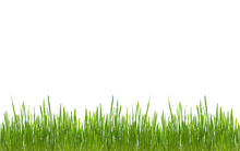 Green Grass Isolated With Dew ...