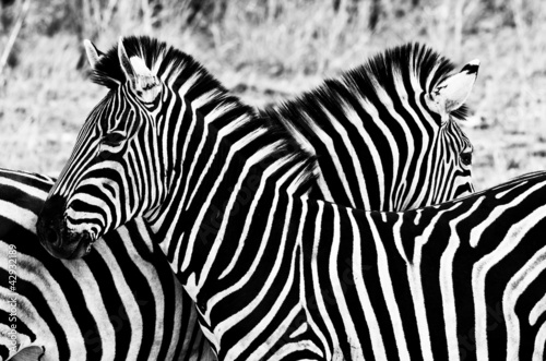 Poster Zebra Zebras in Kruger National Park, South Africa