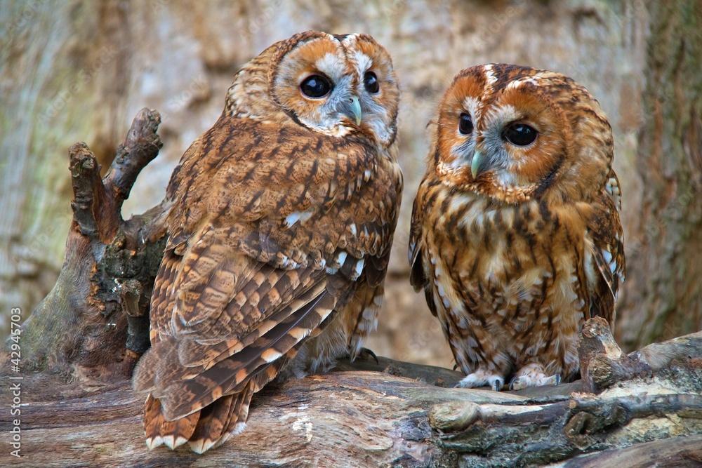 Fototapety, obrazy: Tawny Owls