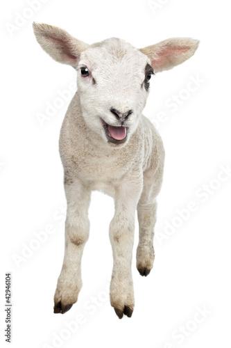 Papiers peints Sheep Lamb