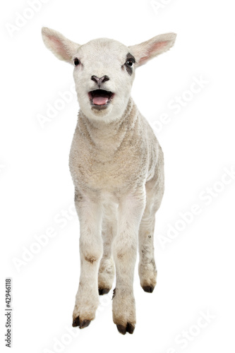 Cadres-photo bureau Sheep Lamb