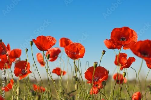 Canvas Prints Poppy Sommerliches Feld mit Mohnblumen